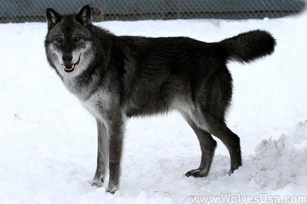 Alaskan tundra wolf - Wikipedia